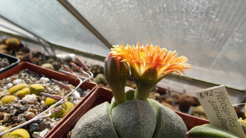 Cacti and Sukkulent in Köln, every day new flowers in the greenhouse Part 39 Bild_811
