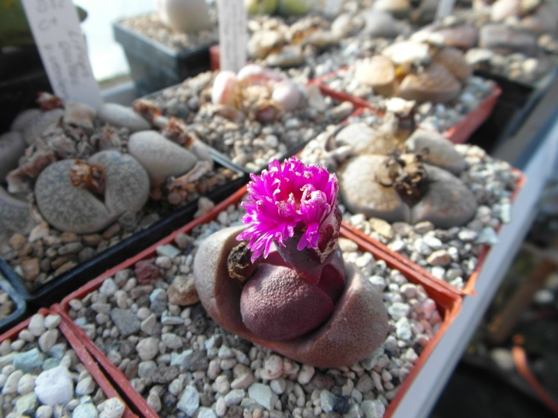 Cacti and Sukkulent in Köln, every day new flowers in the greenhouse Part 39 Bild_813