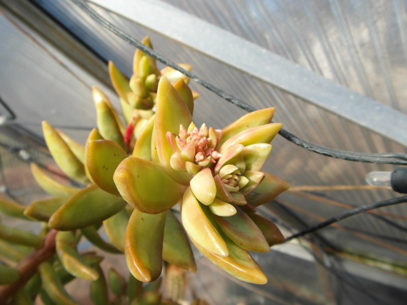 Cacti and Sukkulent in Köln, every day new flowers in the greenhouse Part 39 Bild_814