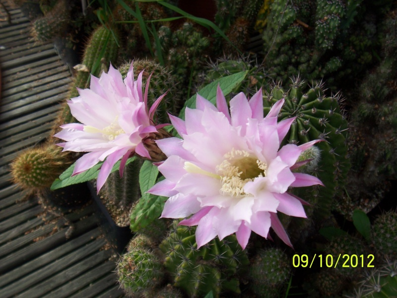 Cacti and Sukkulent in Köln, every day new flowers in the greenhouse Part 39 Bild_818