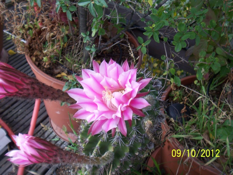 Cacti and Sukkulent in Köln, every day new flowers in the greenhouse Part 39 Bild_819