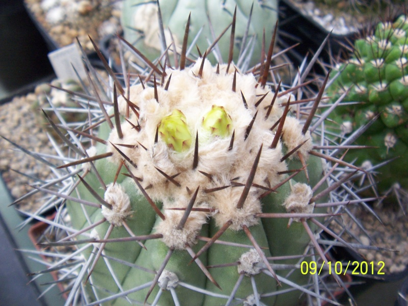 Cacti and Sukkulent in Köln, every day new flowers in the greenhouse Part 39 Bild_820