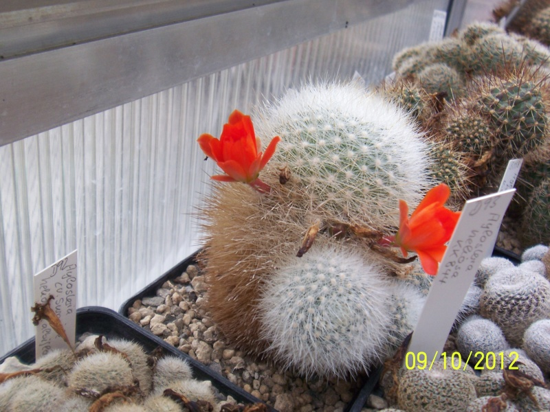 Cacti and Sukkulent in Köln, every day new flowers in the greenhouse Part 39 Bild_824