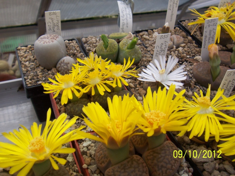 Cacti and Sukkulent in Köln, every day new flowers in the greenhouse Part 39 Bild_827