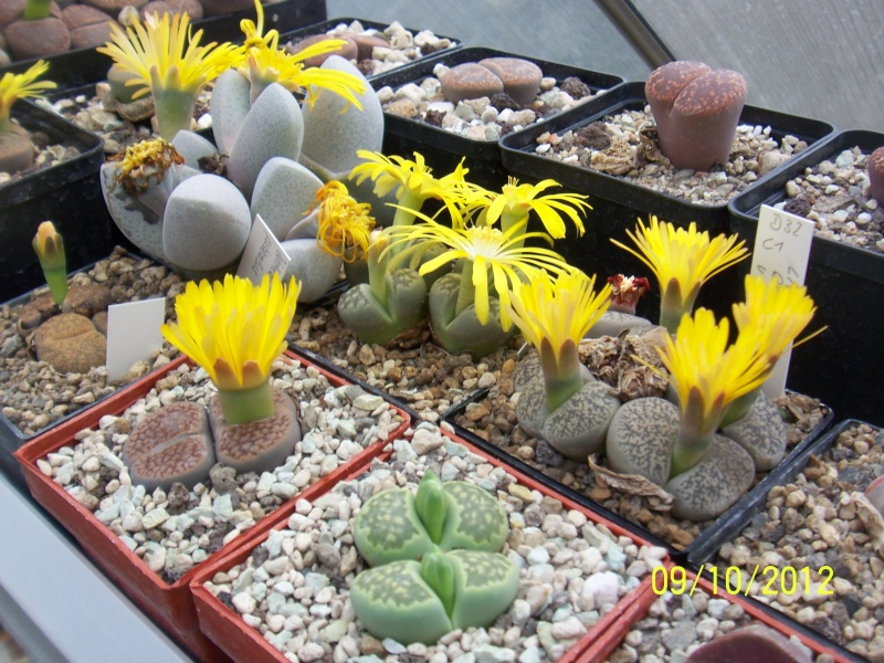 Cacti and Sukkulent in Köln, every day new flowers in the greenhouse Part 39 Bild_828