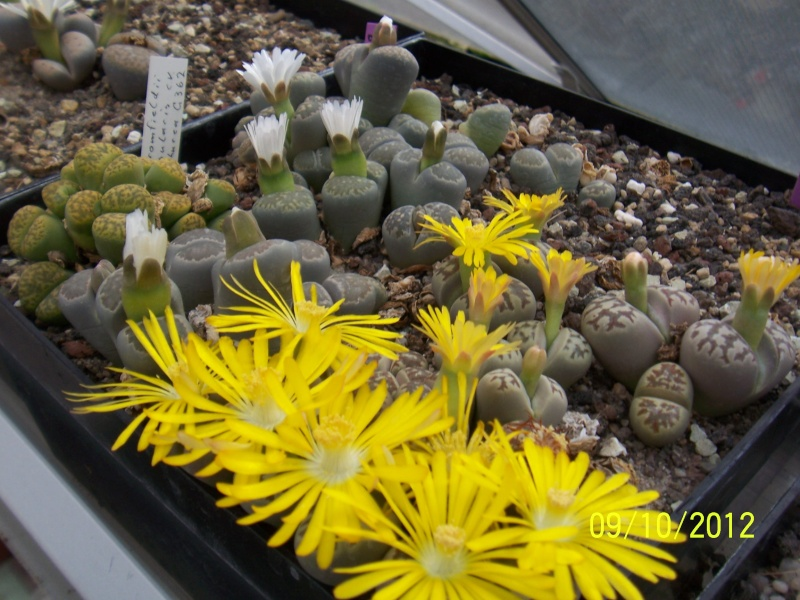 Cacti and Sukkulent in Köln, every day new flowers in the greenhouse Part 39 Bild_829