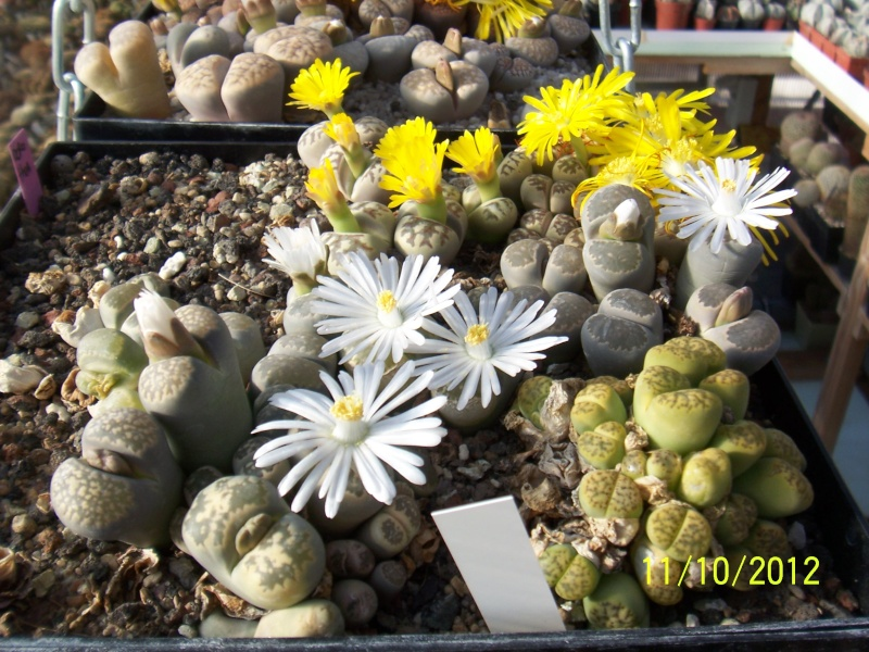 Cacti and Sukkulent in Köln, every day new flowers in the greenhouse Part 40 Bild_854