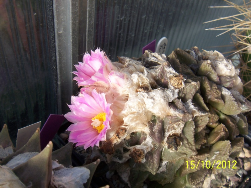 Cacti and Sukkulent in Köln, every day new flowers in the greenhouse Part 40 Bild_864