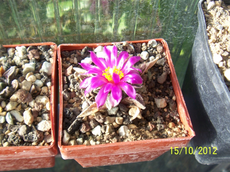 Cacti and Sukkulent in Köln, every day new flowers in the greenhouse Part 40 Bild_866