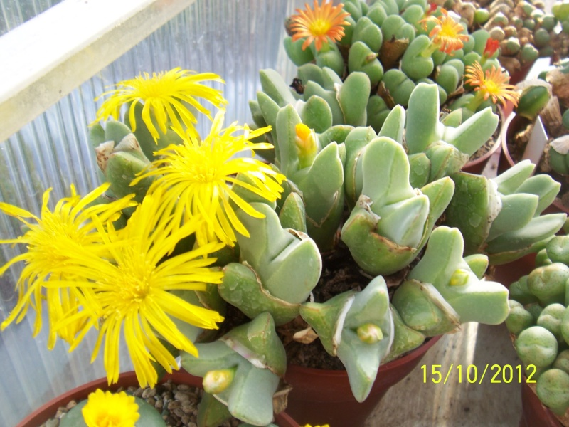 Cacti and Sukkulent in Köln, every day new flowers in the greenhouse Part 40 Bild_869