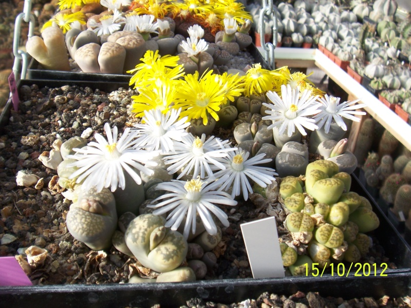 Cacti and Sukkulent in Köln, every day new flowers in the greenhouse Part 40 Bild_874