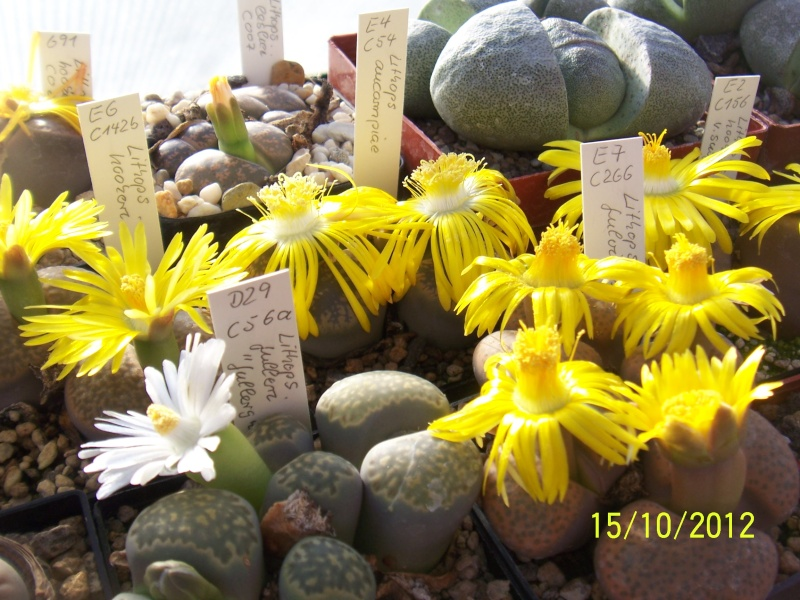 Cacti and Sukkulent in Köln, every day new flowers in the greenhouse Part 40 Bild_880