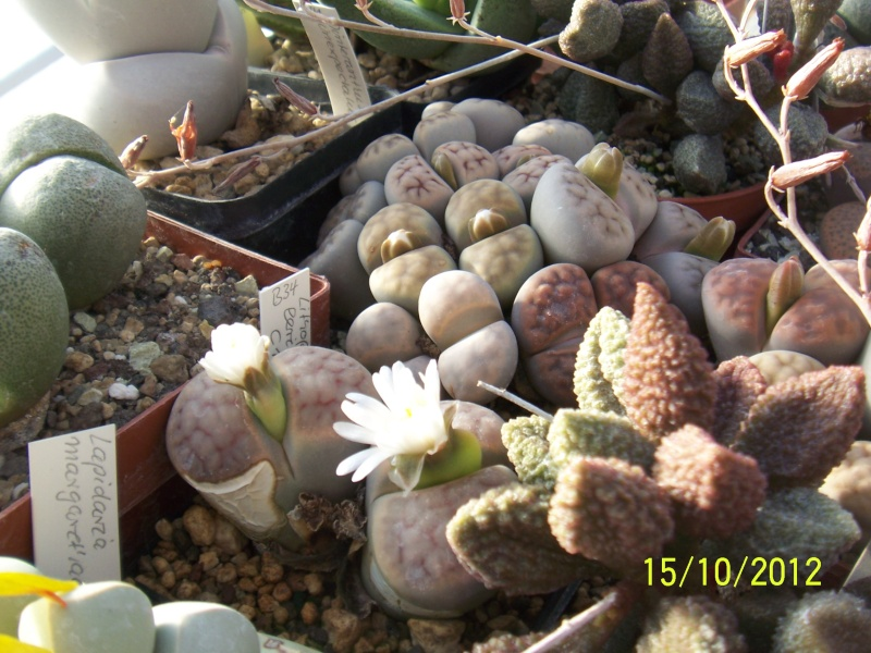 Cacti and Sukkulent in Köln, every day new flowers in the greenhouse Part 40 Bild_881