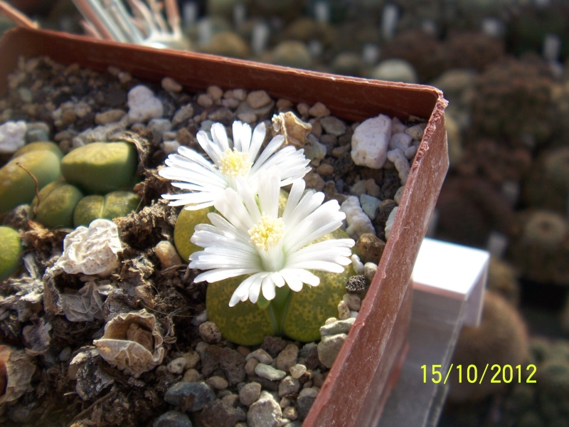 Cacti and Sukkulent in Köln, every day new flowers in the greenhouse Part 40 Bild_883