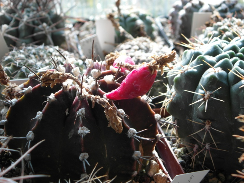 Cacti and Sukkulent in Köln, every day new flowers in the greenhouse Part 40 Bild_889