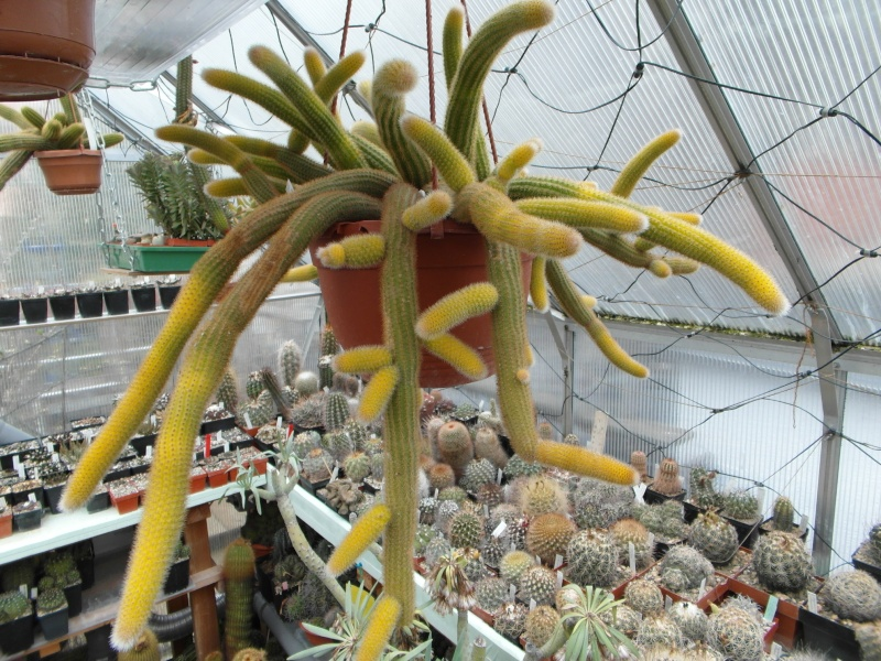 Cacti and Sukkulent in Köln, every day new flowers in the greenhouse Part 40 Bild_903
