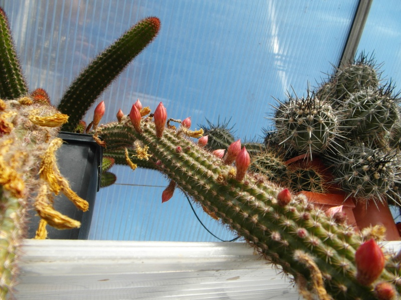 Cacti and Sukkulent in Köln, every day new flowers in the greenhouse Part 40 Bild_928