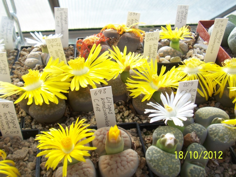 Cacti and Sukkulent in Köln, every day new flowers in the greenhouse Part 40 Bild_940