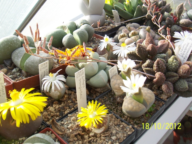 Cacti and Sukkulent in Köln, every day new flowers in the greenhouse Part 40 Bild_941