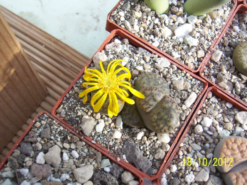 Cacti and Sukkulent in Köln, every day new flowers in the greenhouse Part 40 Bild_942