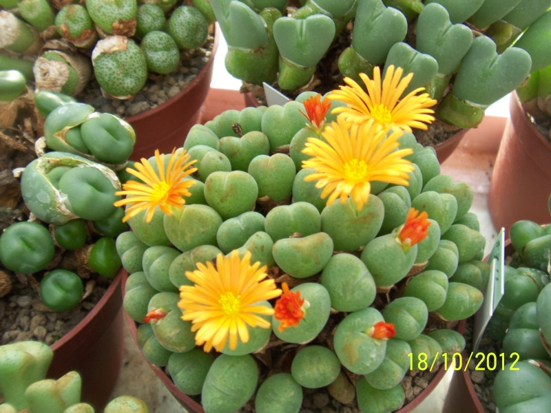 Cacti and Sukkulent in Köln, every day new flowers in the greenhouse Part 40 Bild_946