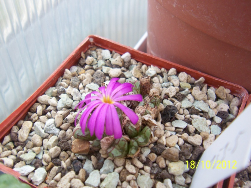 Cacti and Sukkulent in Köln, every day new flowers in the greenhouse Part 40 Bild_947