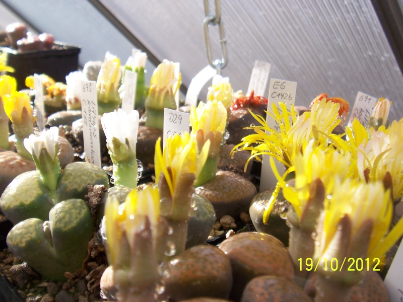 Cacti and Sukkulent in Köln, every day new flowers in the greenhouse Part 41 Bild_954