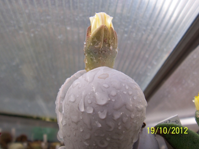 Cacti and Sukkulent in Köln, every day new flowers in the greenhouse Part 41 Bild_956