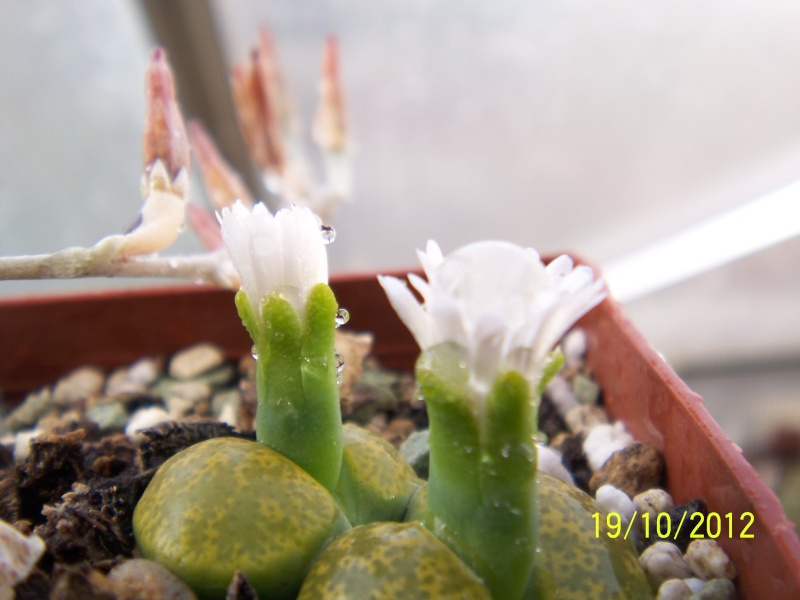 Cacti and Sukkulent in Köln, every day new flowers in the greenhouse Part 41 Bild_958