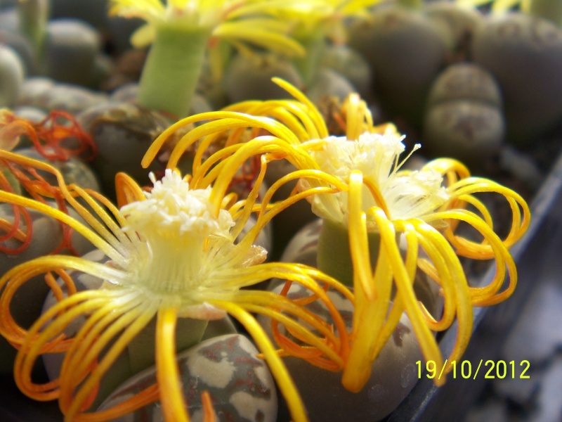 Cacti and Sukkulent in Köln, every day new flowers in the greenhouse Part 41 Bild_963