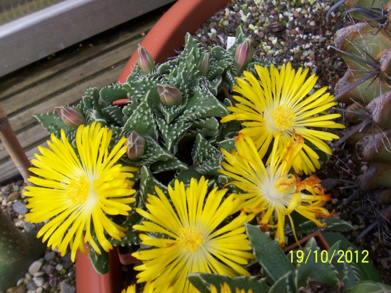Cacti and Sukkulent in Köln, every day new flowers in the greenhouse Part 41 Bild_964