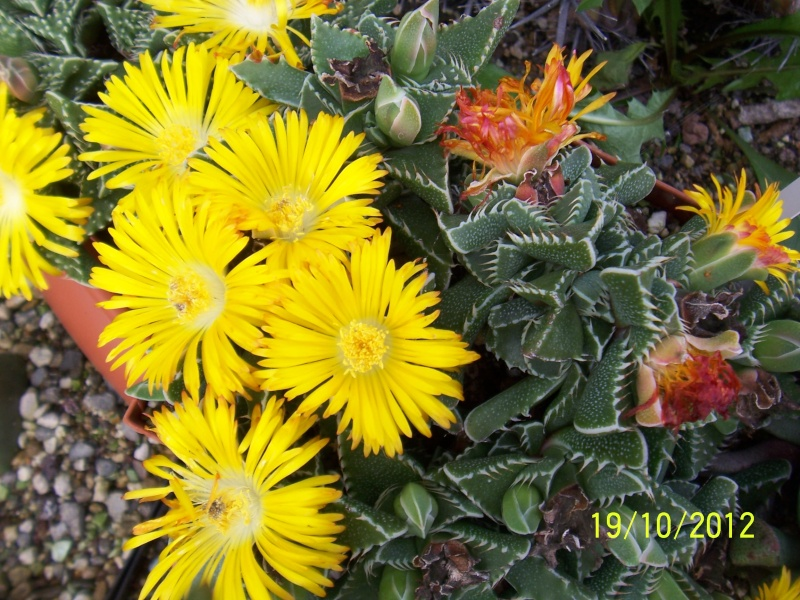 Cacti and Sukkulent in Köln, every day new flowers in the greenhouse Part 41 Bild_965