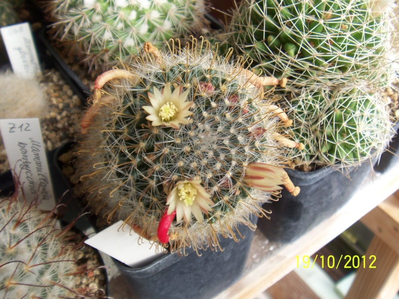 Cacti and Sukkulent in Köln, every day new flowers in the greenhouse Part 41 Bild_979