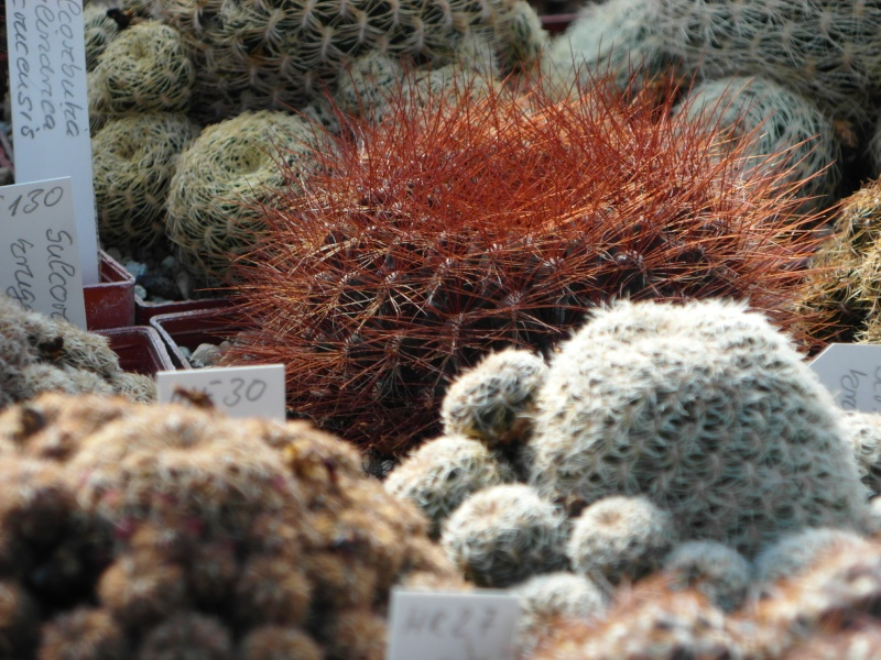 Cacti and Sukkulent in Köln, every day new flowers in the greenhouse Part 41 Bild_985
