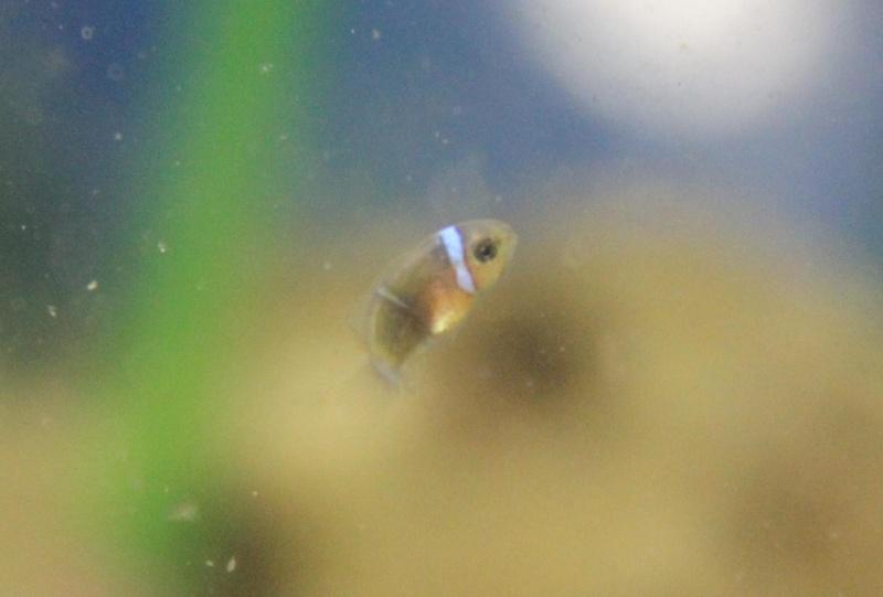 repro de poissons clown ...ocellaris 1ereba10