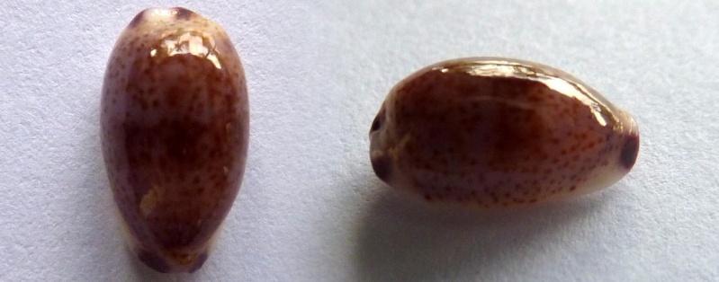 Purpuradusta fimbriata marquesana - Lorenz, 2002 Cyp_fi10