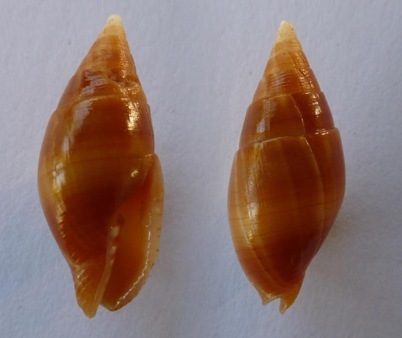 Strigatella obliqua - Lesson, 1842 Mitra_10