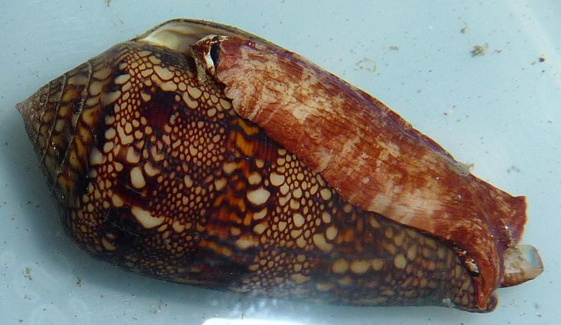 Conus (Cylinder) canonicus textilinus   Kiener, 1845  P1070811