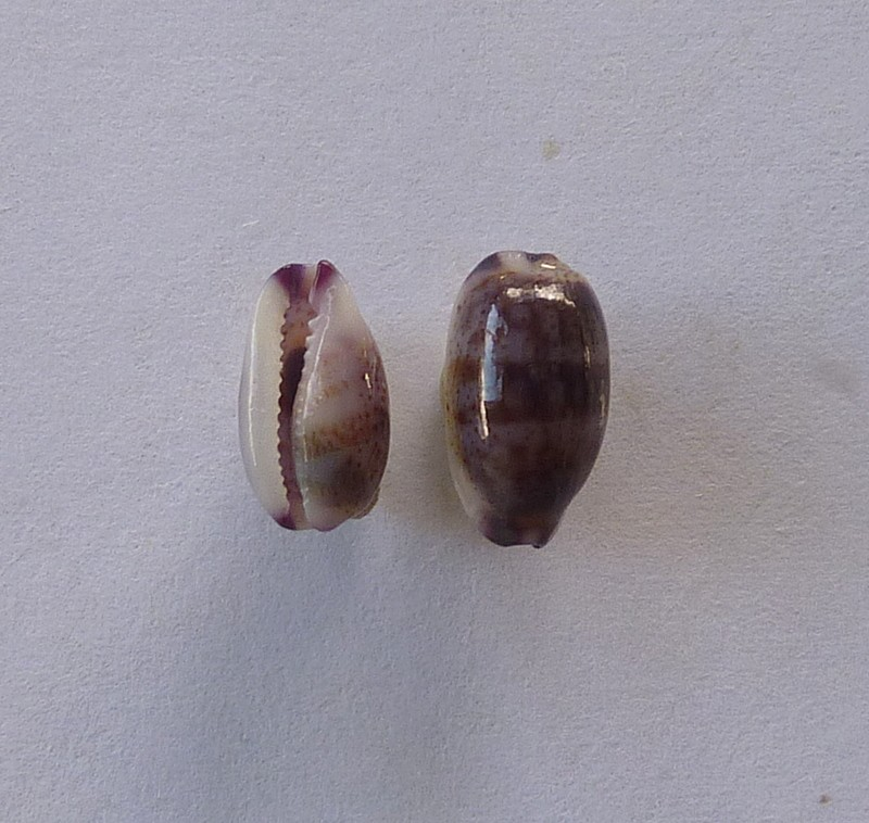 Purpuradusta fimbriata marquesana - Lorenz, 2002 P1080110