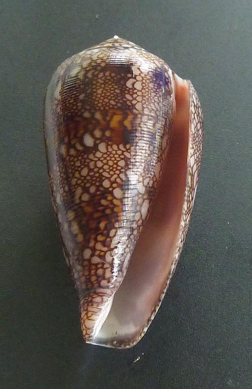 Conus (Cylinder) canonicus textilinus   Kiener, 1845  P1080111