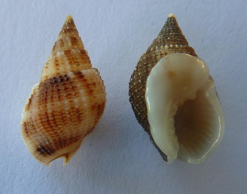 Nassarius candens - (Hinds, 1844) P1100113