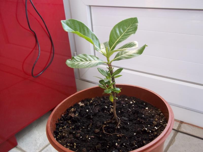 gardenia tahitensis - Page 10 100_1411