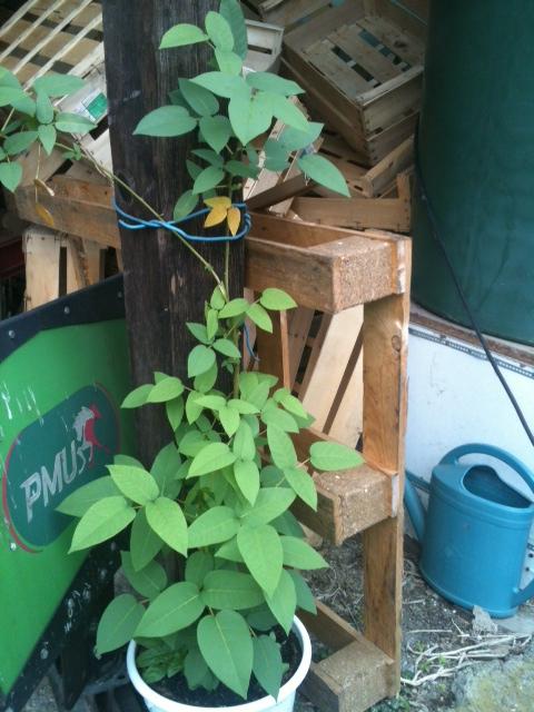 Erythrina crista-galli Photo-10