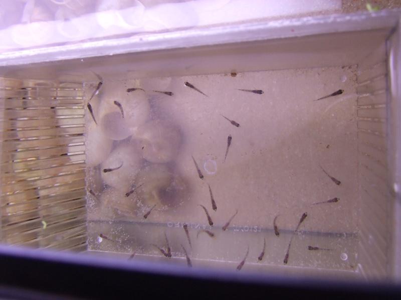 "Enantiopus melanogenys ""chituta"" Dscf5320"