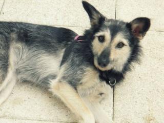 Les problèmes génétiques chez les chiens de races 10116111