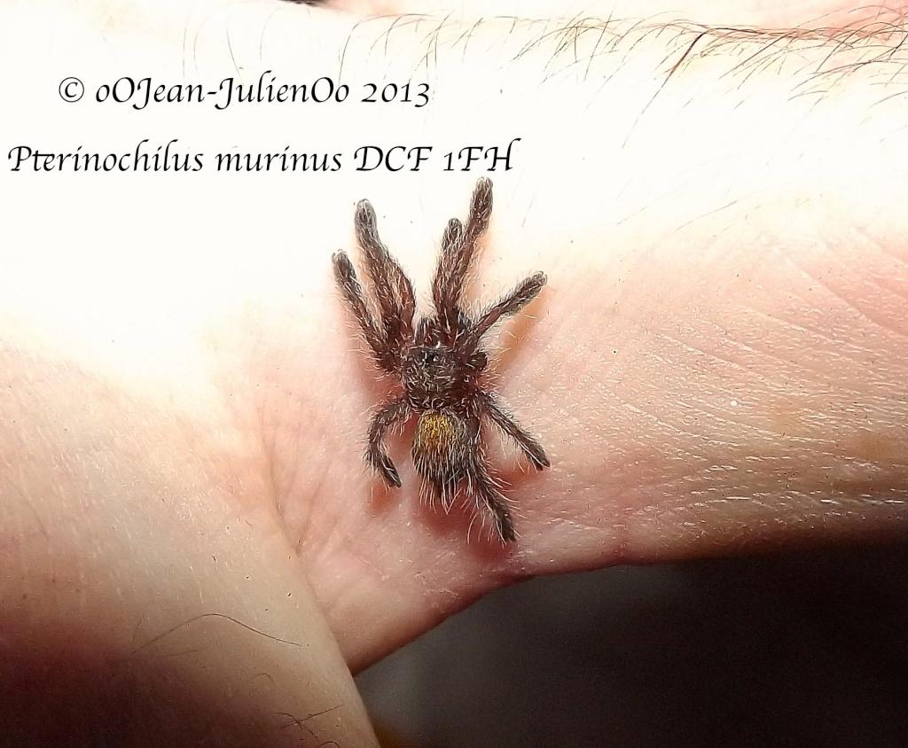 Pterinochylus murinus DCF Dscf9810