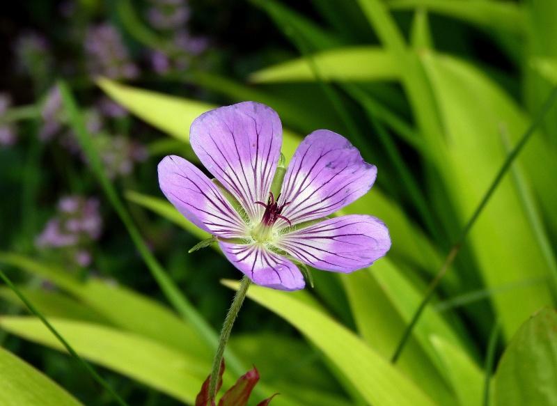 Geranium Sweet Heidi P1120710