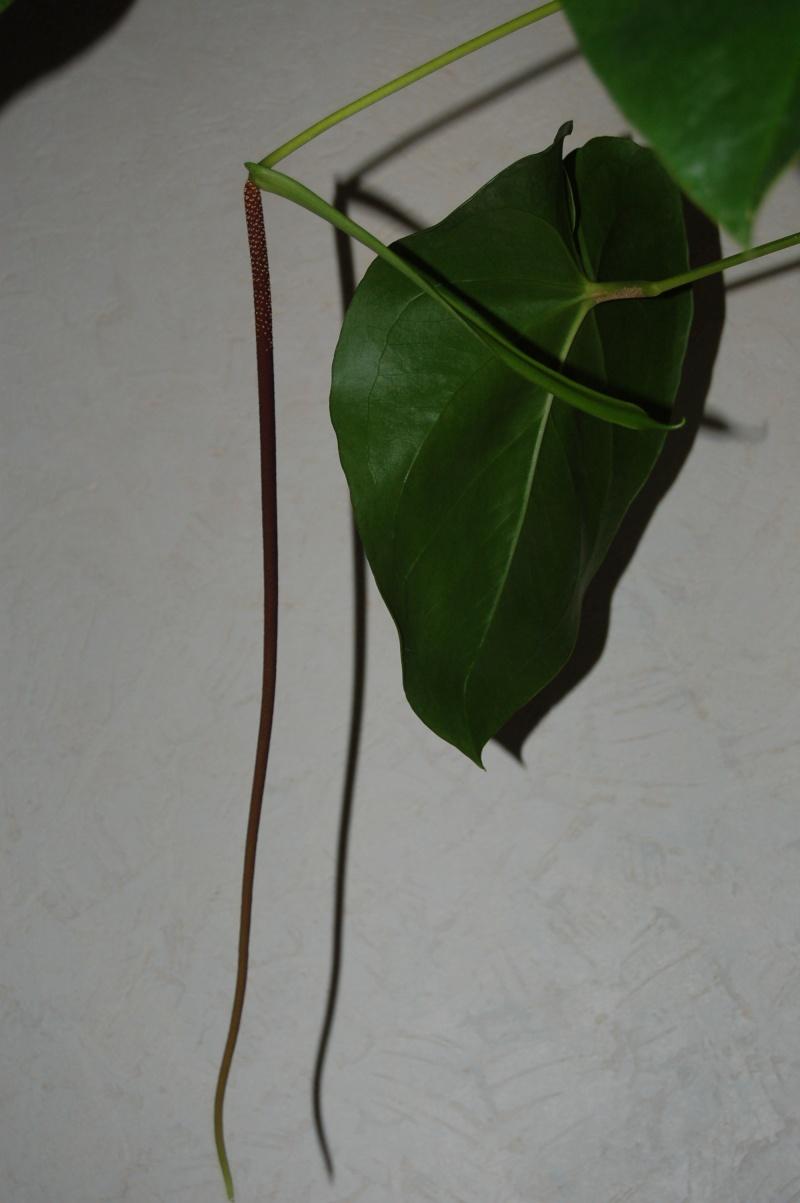 un géant : Anthurium grandifolium - Page 2 Dsc_6913