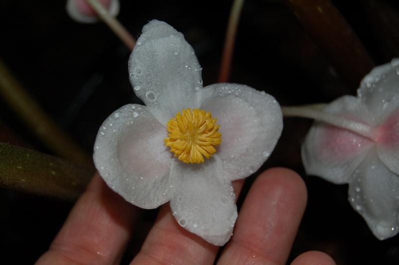 Begonia silletensis Dsc_6915