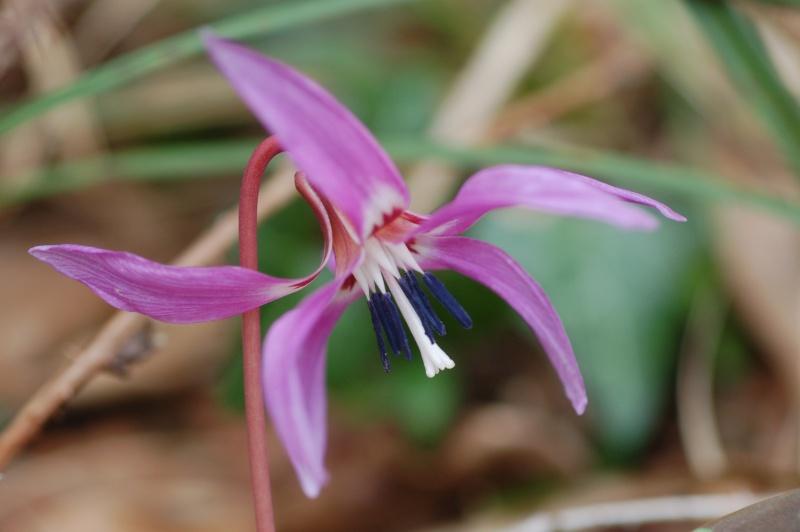une magnifique rareté : Erythronium dens-canis Dsc_7011